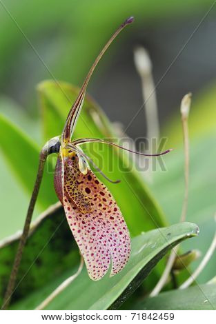 Twisted Restrepia Orchid