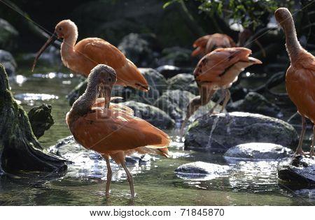Scarlet Ibis family