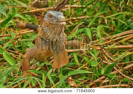 Green Iguana Closeup