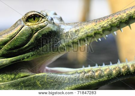 Small Crocodile, Aligator (gavial)