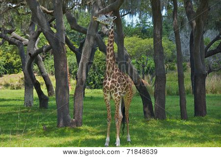 Giraffe in Nature