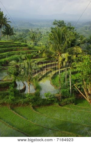 Bali  Young Terrace Ricefields And Palms 2