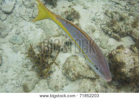 Yellowtail Snapper Swims Around Reef