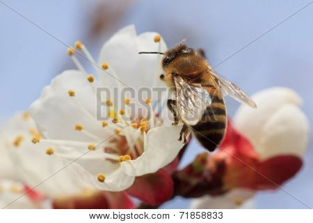 Bee On Apricot Tree Blossom