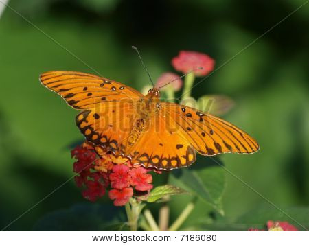 A Gulf Fritillar Butterfly