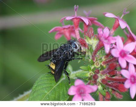 A horny fly