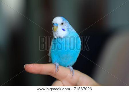 Budgie On Finger
