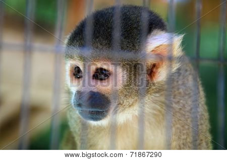 Sad Looking Spider Monkey