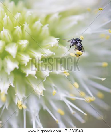 Minute Australian Native Stingless Bee