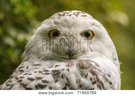portrait  White snow owl - open eyes