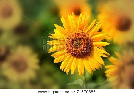 nice sunflower on field - close-up photo