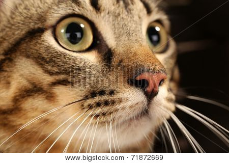 Grey cat's muzzle closeup