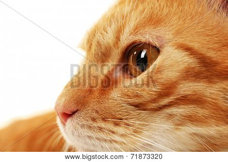 Red cat closeup