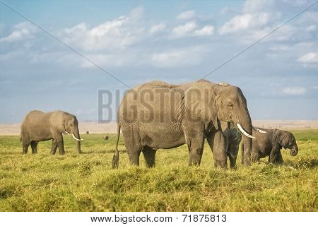 African Elephants On Pasture