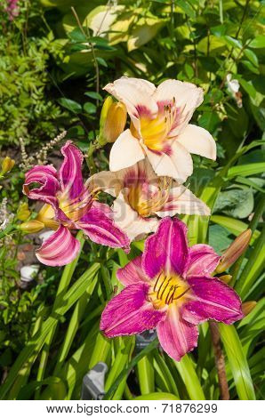 Group Of Daylilies On The Garden