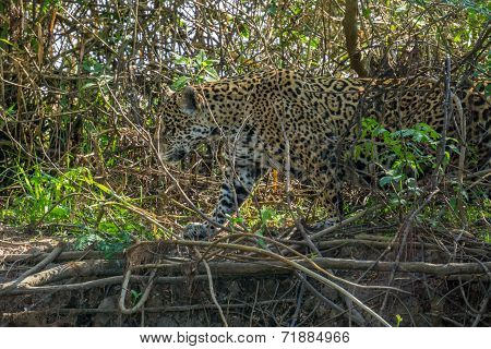 Side view of Jaguar in Pantanal walking through the forest