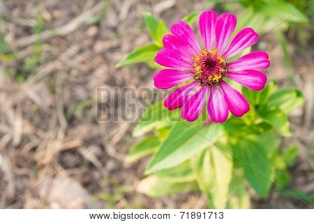 Pink Zinnia Flower At Top Right On Top View