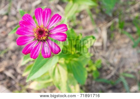 Pink Zinnia Flower At Top Left On Top View