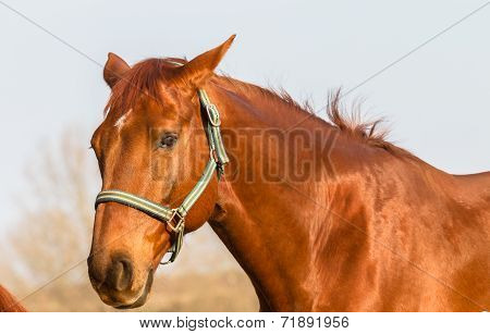 Horse Portrait Chestnut