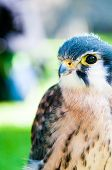 image of small-hawk  - Close up portrait of small hawk against green background - JPG