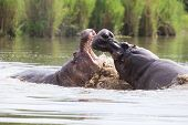 picture of male-domination  - Two huge male hippos fight in water for the best territory - JPG