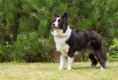 stock photo of border collie  - Border collie is standing on the lawn - JPG
