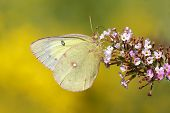 stock photo of butterfly-bush  - Orange Sulfur Butterfly  - JPG