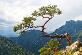 image of pieniny  - pine most famous tree in Pieniny Mountains Poland