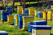 stock photo of beehive  - Blue and yellow beehives in green garden - JPG