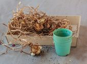 foto of ayam  - Narcissus bulbs after flowering on a wooden tray - JPG
