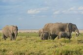 stock photo of terrestrial animal  - Group of African bush elephants  - JPG