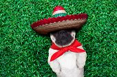stock photo of mexican-dog  - pug dog sleeping siesta on grass in the park and snoring - JPG