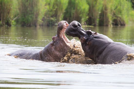 pic of male-domination  - Two huge male hippos fight in water for the best territory - JPG