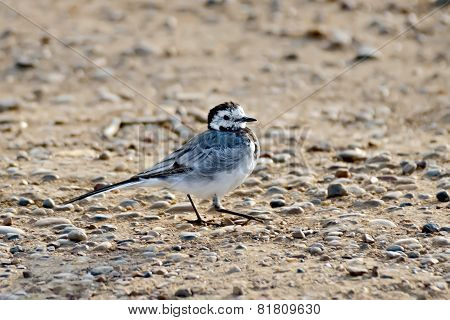 Wagtail on the sand