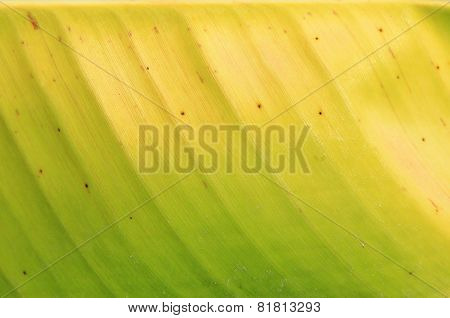 Banana Leaf - Natural Texture Background - Colors of Life
