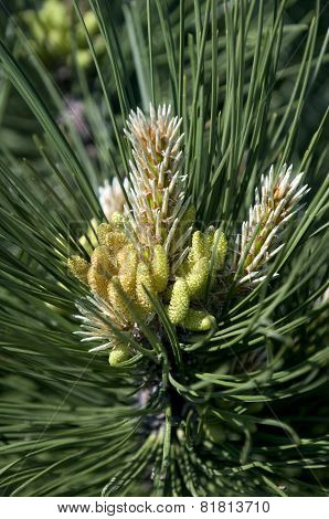 Pine Tree In Blossom