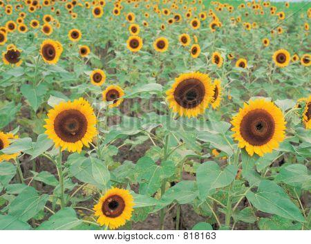 Sunflowers on ground