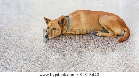 Brown Dog Resting On Floor
