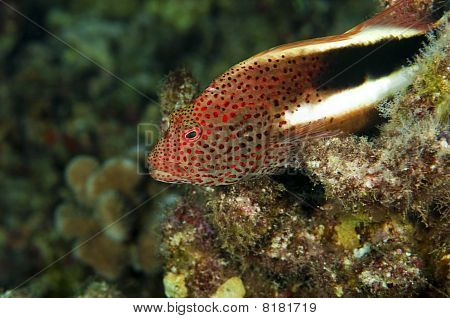 Stocky Hawk Fish