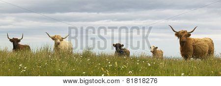 Scottish Cows In The Ground. Skye Isle. Scotland. Uk