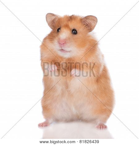 syrian hamster on white