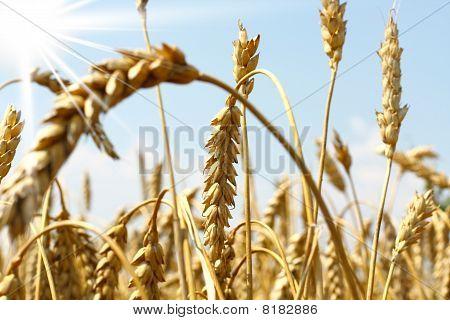 Cornfield with wheat