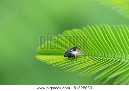 planthopper on mimosa leaf