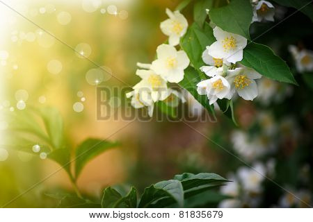 Beautiful Blooming Branch Of Jasmine Outdoors