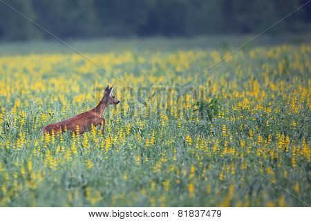 Roe-deer on the run