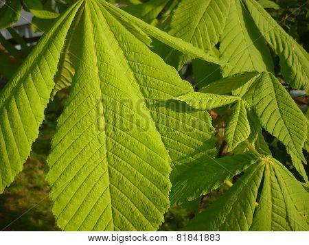 Aesculus hippocastanum - leaves