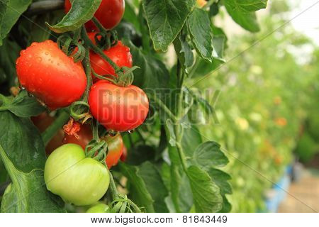 Fresh Tomatoes On The Green Plant