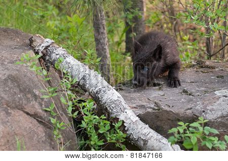 Black Wolf (canis Lupus) Pup Stalks Left Over Branch