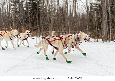 Sled Dogs Race Along Trail