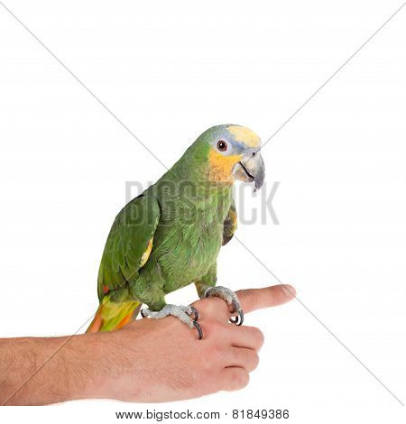 Orange-winged amazon on hand of a white background